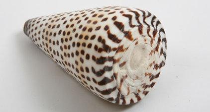 Tropical Home Decor Leopard Cone Shell