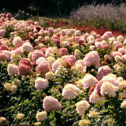 'Limelight' Hardy Hydrangea - 'Limelight' turns an incredible combination of green, pink, and burgundy blooms in autumn.
