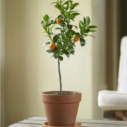 Fukushu Kumquat Topiary - Valentine's Day falls right on the last gasp of winter, when we're all dying for a sign of spring. This little kumquat tree would be a thoughtful harbinger of the season to come, smells great, and even provides a few citrus-y treats.