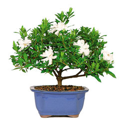 Brussel's Bonsai - Gardenia Bonsai Tree, Small - Nothing beats the sweet smell of a blossoming gardenia. This tiny bonsai version is perfect for a protected patio where it's above 20 degrees. Creamy white flowers will infuse the air from March until June, and the rest of the year you can enjoy the plant's glossy and abundant leaves.