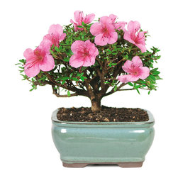 Brussel's Bonsai - Satsuki Azalea Bonsai Tree, Small - The Satsuki Azalea shows off with vibrant pink blossoms in late spring and is perfect for a backyard patio. Enjoy the color in May and June, but protect it from frost during chillier months. Water the soil only when the top has dried and be careful not to disturb the topsoil in the pot.