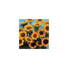 Shop sunflower at Lowes.com: Search Results
