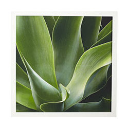 SUCCULENT PRINT - BROAD LEAF - They say design lives all around us. Even in the organic beauty of nature, form and structure come alive. It's no wonder we're always inspired by the living world around us, and no wonder we chose three botanical prints for our collection of wall art. This is just one part of the triptych, an up-close and personal account of the resilient succulent. It's framed in white to keep the focus where it should be: the art.