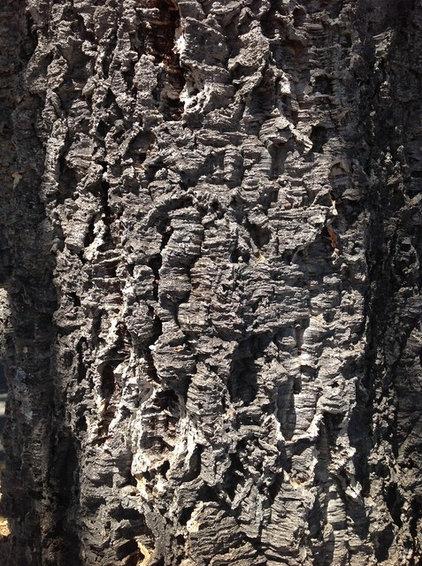 Traditional  Quercus suber
