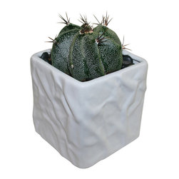 "MODgreen - Astrophytum o. - 4"" Ceramic Potted Cactus and Succulents - Endemic from Central Mexico, the 'Start Plant' as it is commonly known will thrive on bright light but will also do well under to partial shade. Water lightly once a month. With this design MODgreen has put a new twist to the standard ceramic cube planter by giving them a corrugated texture that make these beautiful pots stand out above the rest."