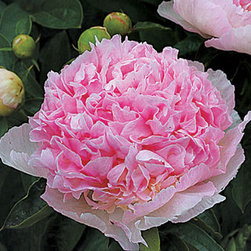 Raspberry Sundae Peony Plant - Would a perennial garden really be complete without some classic peonies (Paeonia, zones 3 to 8)? They are beautiful cut flowers and are pretty substantial plants. I like to think of them as alternatives to roses.