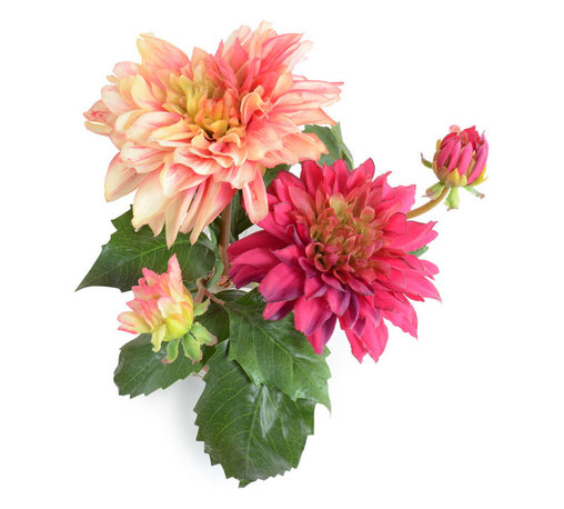 "New Growth Designs - Dahlia Arrangement - Fuchsia and Pink/cream Dahlia stems are cut short and arranged together in a glass cube vase with clear acrylic solution, for a fresh from the garden appearance. 8"" long x 7"" wide x  8.5"" height."