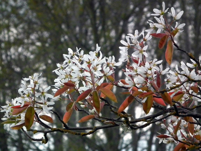 Shadblow (Amelanchier x grandiflora)