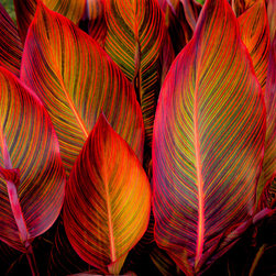 """Douglas Page Photographic Arts - Glowing Leaves - Canvas Giclee, 24"""" X 16"""" - This fine art photograph on canvas, by photographic artist Douglas Page, captures the magical glow of colorful leaves backlit in the sun."""