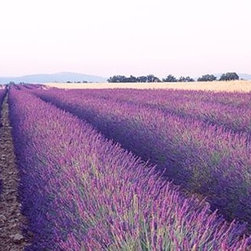 Walls 360, Inc. - Lavender Field Plateau De Valensole Panoramic Fabric Wall Mural - Transform your empty walls with Walls 360's premium, repositionable wall graphics.