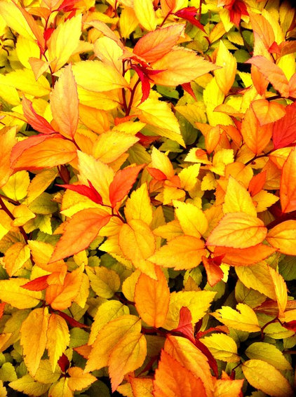 Spirea Goldflame