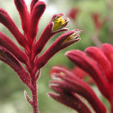 Anigozanthos 'Red Cross'