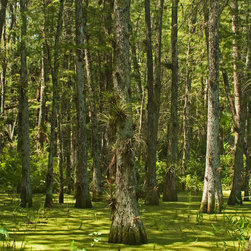 "Shades of Green - Color Photography Limited Edition Print, 30""w X 20""h - Morning sunlight providing visual splendor in a cypress swamp."