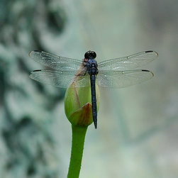 Roweboat Art Inc. - Dragonfly Onbud II, Eco-Imagery Photography, 12X12 - Photograph created by artist Robin Rowe