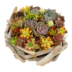 Flora Pacifica - Driftwood Succulent Basket - This unique succulent basket is made by local crafters with driftwood gathered from our local beaches.  The driftwood basket is made up of 18 beautiful succulents.  Echeveria Lila Cina, Nodulosa, Pulldonis, Elegans Blue and Perle von Nurmberg.  Sedums Ogon, Jelly Bean and Nausbaumeranium.  Crassulas Golum and String of Buttons.  Aeonium ri Color and Sempervivrens.