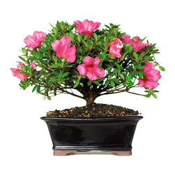 Brussel's Bonsai - Satsuki Azalea Bonsai Tree, Medium - The Satsuki Azalea shows off with vibrant pink blossoms in late spring and is perfect for a backyard patio. Enjoy the color in May and June, but protect it from frost during chillier months. Water the soil only when the top has dried and be careful not to disturb the topsoil in the pot.