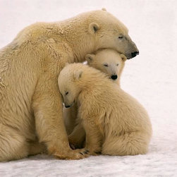 Wallmonkeys Wall Decals - Polar Bear Mother and Cubs Cuddling Wall Mural - 52 Inches W x 45 Inches H - Easy to apply - simply peel and stick!