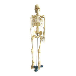 1950s Scientific Educational Model Skeleton on Stand - If you're the type to go all out for Halloween, this is for you. It's a vintage 1950s reduced-scale full-body teaching model skeleton. It stands tall at 35 inches high.