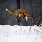 Wallmonkeys Wall Decals - Red Fox Jumping in the Snow Wall Mural - 18 Inches W x 12 Inches H - Easy to apply - simply peel and stick!
