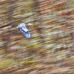 Photo Captures by Jeffery - Artistic - Blue Heron In Flight With Wings Down by Photo Captures by Jeffery you can visit my site to purchase this print and where you will see a lot more photo captures.