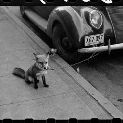'Street Corner, Fargo, North Dakota' Print - OK is this a Fox? Someone who knows has to tell.