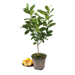 Meyer Lemon Patio Tree - I have always wanted a lemon tree. I wonder if I could keep it alive long enough to see any lemons.