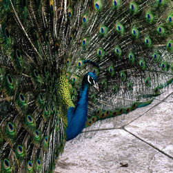 Create your style - Peacocks are the norm at an arboretum that i frequent.