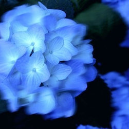Blue Hydrangia Artwork - Spring blooms are fleeting, and this gorgeous photograph of lush blue hydrangeas utilizes a technique that gives you a sense of that motion. This signed, limited-edition print comes framed, so you can hang it immediately.