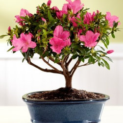Valentine's Day Azalea Bonsai - Can you believe this bonsai is three years old? This Satsuki tree makes a unique gift, and it can last for years. It's interesting to learn about and super easy to care for.