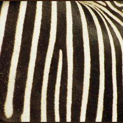 "Concord Global - National Geographic Photographic Zebra Stripes White Black Animal Prints 6'7"" x - A common sight in Kruger National Park, South Africa, the zebra (Equus burchellii) has one of the most distinctive coats of any animal."