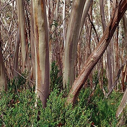 Magic Murals - Snow Gum Eucalyptus Tree Trunks Wallpaper Wall Mural - Self-Adhesive - Multiple - Snow Gum Eucalyptus Tree Trunks Wall Mural