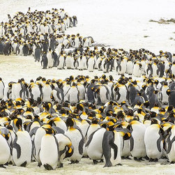 Magic Murals - King Penguins in Snow Wallpaper Wall Mural - Self-Adhesive - Multiple Sizes - Ma - King Penguins in Snow Wall Mural