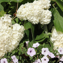 Gatsby's Moon™ Oakleaf Hydrangea - Gatsby's Moon™ flowers up close