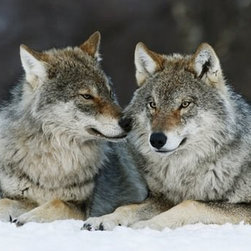 'Gray Wolf Pair in the Snow, Norway' Photograph - By Krijin Trimbos