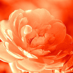 Rose Orange Print by Joan Han - Beautiful rose was captured in July 2014 in Toronto, Ontario, Canada. This photo art is available on museum-quality paper print, canvas print, framed print, metal print and acrylic print. It would be a great selection for the wall decor of your beautiful home. The prices start at $31.