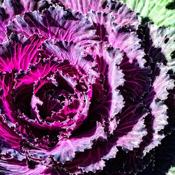 Gourmet Kitchen and Restaurant Art - Garden Haze - Purple Kale Art By Sharon Cummings. Buy Fine Art Prints Online.