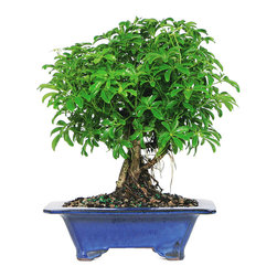 Brussel's Bonsai - Dwarf Hawaiian Umbrella Tree Bonsai Tree, Large - With glossy, bright green leaves, the dwarf Hawaiian umbrella will make a beautiful accent in your home. Plus, it's relatively easy to nurture, even without direct sunlight, so it's an ideal beginner's bonsai.