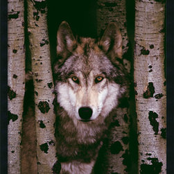Amanti Art - Gray Wolf Framed with Gel Coated Finish - The reputation of the wolf may be defined by this decisive moment. Do we see an elusive shy wolf or is it a cunning and untrustworthy predator for the wild?