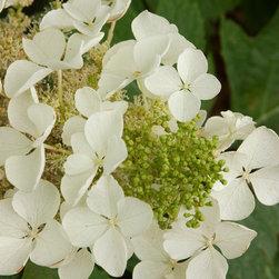 Pee Wee Oak Leaf Hydrangea - Photo By Doreen Wynja © EyeoftheLady.com