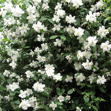 Mock orange (Philadelphus lewisii)