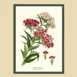 Sweet William Flower Botanical Print - 11x14 Print - 16x20 Cream/Green Mat - Vintage style botanical flower art print from turn of the 19th century illustrations.