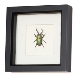 Bug Under Glass - Real Stag Beetle Framed Insect - Forget the debate about the best Beatle — Paul and John have nothing on this gorgeous stag beetle. Known in the scientific world as the species Lamprima adolphinae, this green farm raised beauty will glow on your wall.