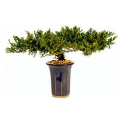 "Oriental-Décor - 8"" Juniper, Preserved Bonsai Tree - The juniper tree is symbol of endurance and longevity and as such is one of the best loved tree species for making bonsai trees.  These beautiful specimens are carefully grown into a distinctive bonsai shape and preserved to keep their color, aroma, and texture.  They require no pruning and no watering.  That means no equipment to buy, no clippings to clean up, no watering schedule to maintain, and no spills.  Growing these beautiful miniature trees is an art that has been perfected over the course of centuries in China and Japan.  They are an enduring symbol of the rewards of diligence and expertise.  They remind us of the beauty of nature and of the benefits of a loving relationship with the natural world.  Maintaining them, pruning them just so, and giving the trees just the right amount of water to keep them nourished is a labor of love all its own.  Now one of these iconic trees can be yours with no growing, watering, or pruning.  This beautiful bonsai tree comes in a slender, vase-like container that co"
