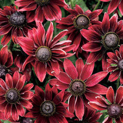 Rudbeckia 'Cherry Brandy'