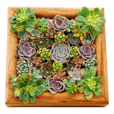 Flora Pacifica - Redwood Succulent Box - The sturdy redwood construction allows the box to be hung or used as a centerpiece.  It contains a variety of over 40 gorgeous succulents including Aeonium Kiwi, Echeveria Perle von Numberg, Lila Cina, Red Hood, Pulldonis, Sedum, Aurora Blue, Adolphy, Jelly Bean and Vera Higgins.