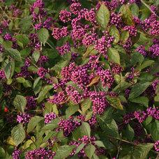 Beauty berry (Callicarpa)
