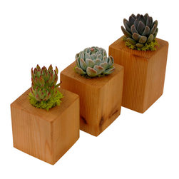 "Flora Pacifica - Succulent Cedar Cubes - These cedar cubes are sealed with a clear natural sealer to protect them and allow the beautiful natural coloring to shine thru.  They are 3.5"" x 3.5"" wide and 4"", 4.5"" and 5"" high.  They are planted with specimen Echeveria succulents which are Setosa, Elegans and Tolimensis."