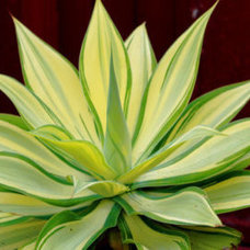 Plants Variegated Agave Attenuata