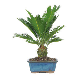 Brussel's Bonsai - Sago Palm Bonsai Tree - Contrary to popular belief, all palms do not thrive in sun! This potted Sago Palm is happiest inside with limited light. It's ideal for adding greenery and life to a low-light office or home and would make a great gift for a boss or colleague. No green thumb required!