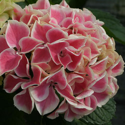 Edgy® Hearts Bigleaf Hydrangea - Edgy® Hearts flower up close